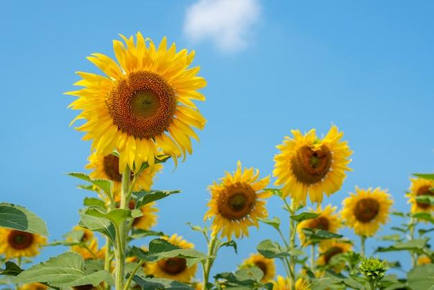 Schön von den sonnenblumen und vom hintergrund des blauen himmels