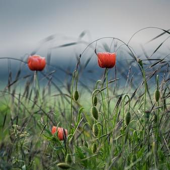 Schön von mohnblumen auf den feldern