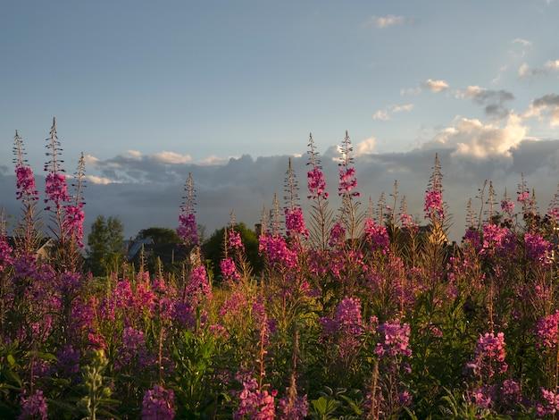 Schöne abendlandschaft bei sonnenuntergang mit einem feld von blühendem weidenröschen