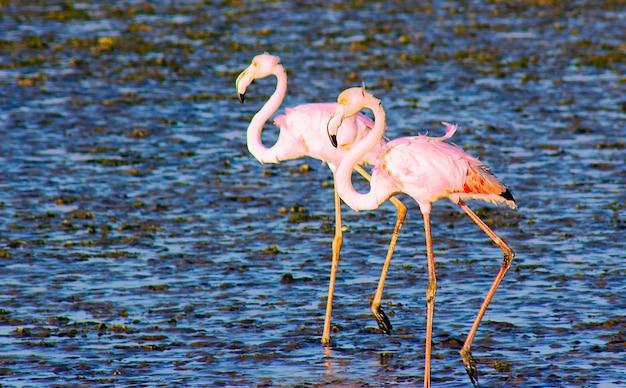 Schöne afrikanische flamingos, die durch die lagune laufen und nach nahrung suchen?