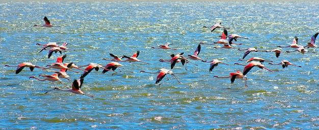 Schöne afrikanische rosa flamingos, die über das meer fliegen