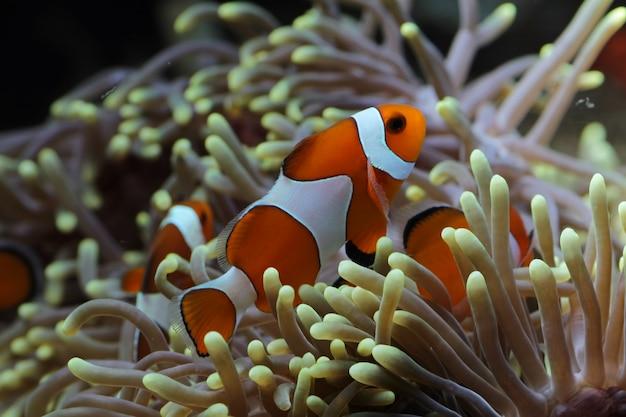 Schöne anemonenfische auf dem korallenriff, indonesien unterwasser-meeresfische