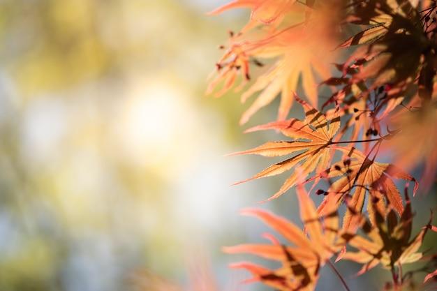 Schöne ansicht der nahaufnahme von orange ahornblättern der natur mit sonnenlicht in der herbstsaison.