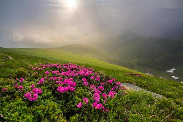 Schöne ansicht der rosa rhododendron-rue-blumen, die am berghang mit nebligen hügeln mit grünem gras und schneeflecken im tal in der ferne blühen. ökologische probleme und schönheit des naturkonzepts.