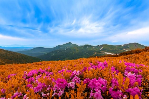 Schöne ansicht der rosa rhododendron-rue-blumen, die auf berghang mit nebligen hügeln mit grünem gras und karpaten in der ferne mit dramatischem wolkenhimmel blühen. schönheit der natur konzept.