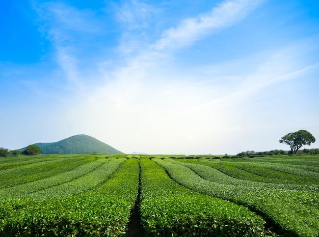 Schöne ansicht des feldes des grünen tees mit himmel bei jeju - südkorea
