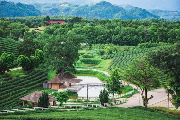Schöne ansicht des neuen bauernhofes des grünen tees, grünes naturfeld der choui fong-teeplantage, mae chan, chiang rai, thailand