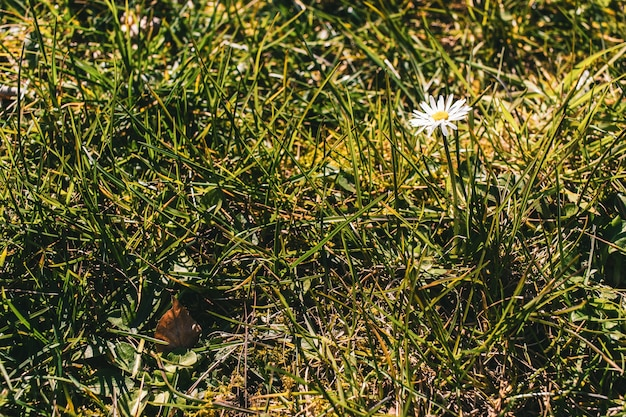 Schöne ansicht einer gänseblümchenblume im grasfeld