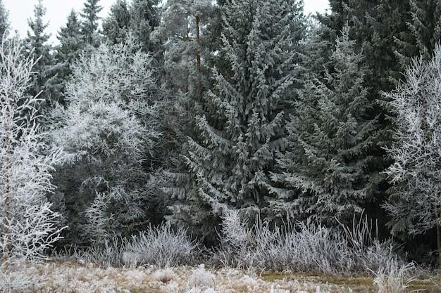 Schöne ansicht eines kiefernwaldes bedeckt mit frost in mysen, norwegen