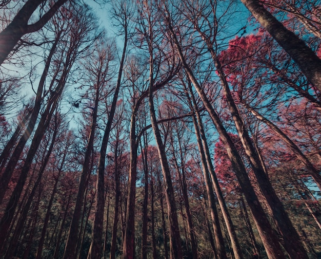 Schöne ansicht von roten kiefern in campos tun jordao, sao paulo, brasilien