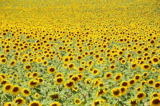 Schöne ansicht von sonnenblumen, die im sonnenblumenfeld an einem sonnigen tag wachsen