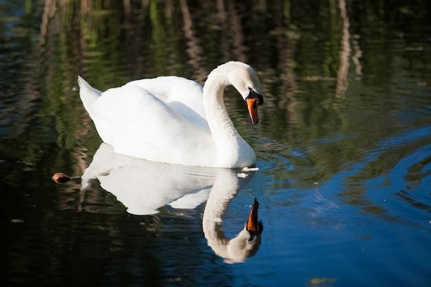 Schöne aufnahme des weißen schwans, der die spiegelung im see betrachtet