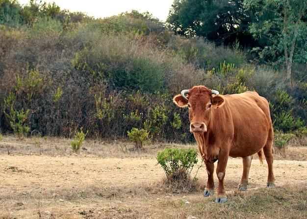 Schöne aufnahme einer braunen kuh auf dem feld