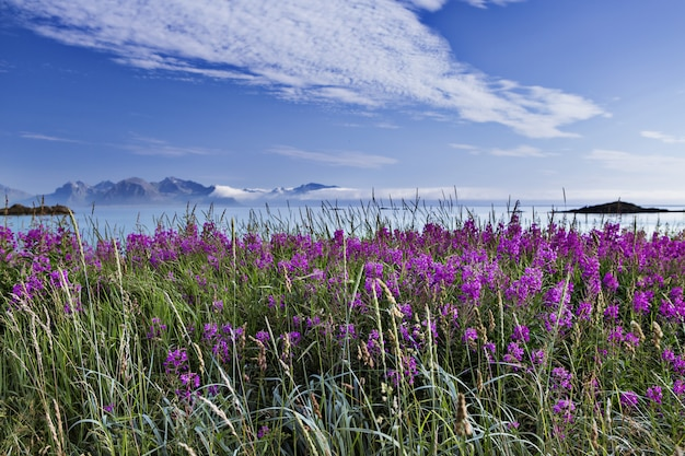 Schöne aufnahme eines feldes voller lila englischer lavendel in lofoten, norwegen