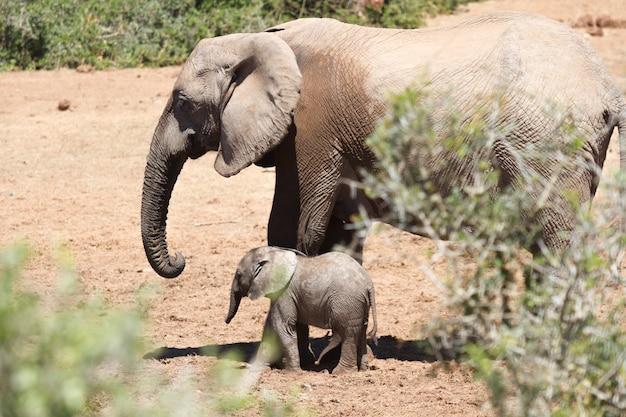 Schöne aufnahme eines großen elefanten und eines elefantenbabys, die auf einem trockenen feld spazieren gehen