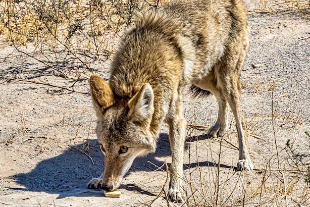 Schöne aufnahme eines kojoten, der tagsüber das essen auf dem boden riecht
