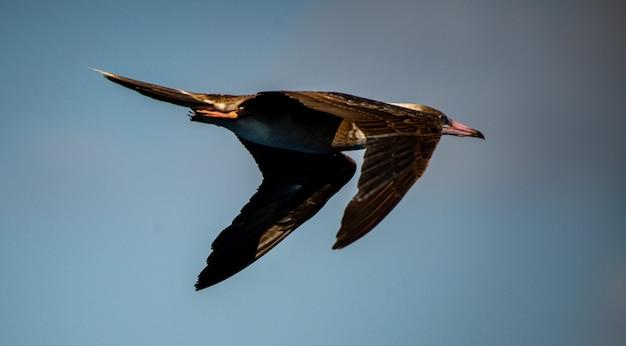 Schöne aufnahme eines laysan-albatros, der seinen flug über das korallenmeer frei genießt