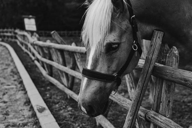 Schöne aufnahme eines pferdes in schwarz und weiß, das seinen kopf an einem holzzaun hängt