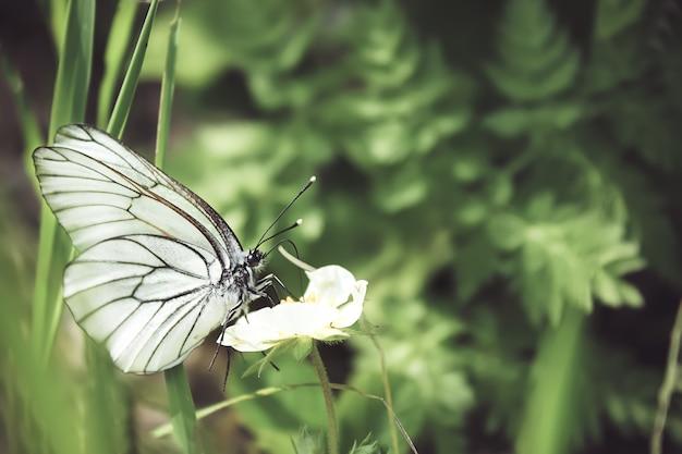 Schöne aufnahme eines schwarz geäderten weißen schmetterlings auf der grünen pflanze im wald. sommer naturlandschaft. weicher fokus.