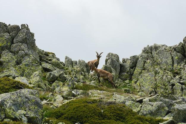 Schöne aufnahme eines weißwedelhirsches in felsigen bergen