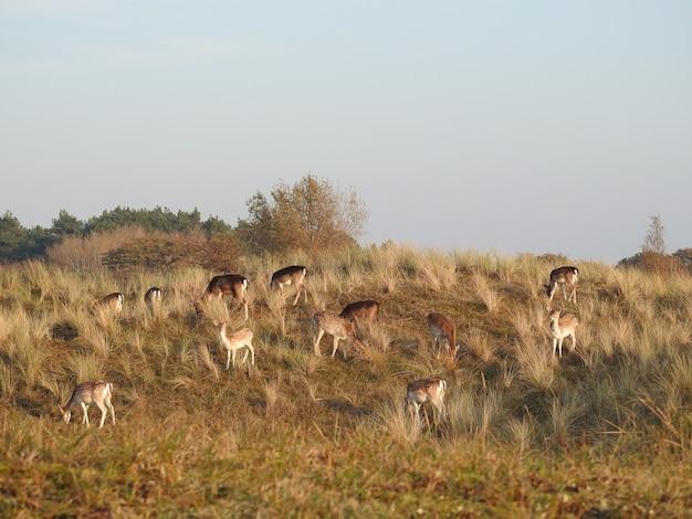 Schöne aufnahme von hirschen auf einer wiese in den niederlanden