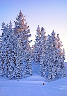 Schöne aufnahme von vielen tannen in einem schneebedeckten wald