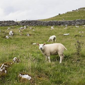 Schöne aufnahme von weißen schafen, die auf einer wiese mit grünem gras und ein paar bäumen weiden