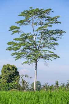 Schöne aussicht auf den einzigen tropischen baum in der nähe von grünen reisterrassen in ubud, insel bali, indonesien