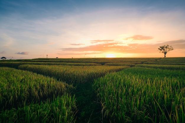 Schöne aussicht auf die grünen felder bei sonnenaufgang in canggu bali eingefangen