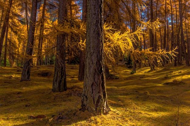Schöne aussicht auf einen wald voller schöner hoher gelber bäume auf dem grasbedeckten boden