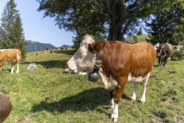 Schöne aussicht auf grasende kühe auf der wiese