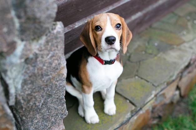 Schöne beagle-hunde