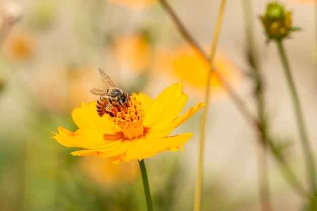 Schöne biene in einer gelben blume ein sonniger tag hautnah