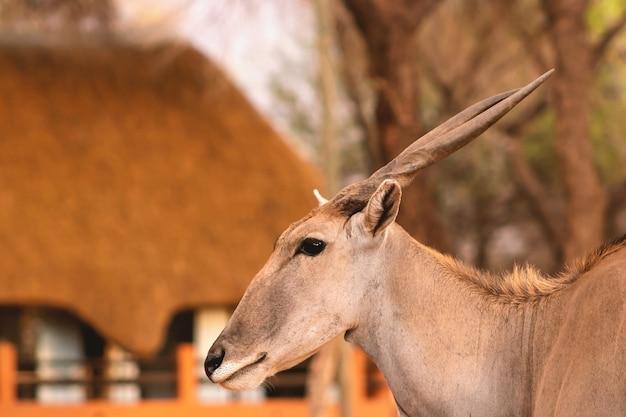 Schöne bilder der größten antilope afrikas. wilde afrikanische eland-antilope hautnah, namibia, afrika