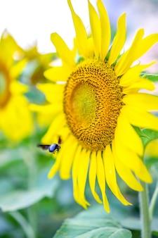 Schöne bilder von sonnenblumen und insekten