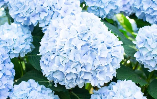 Schöne blaue hortensieblume im garten. künstlerischer natürlicher hintergrund.