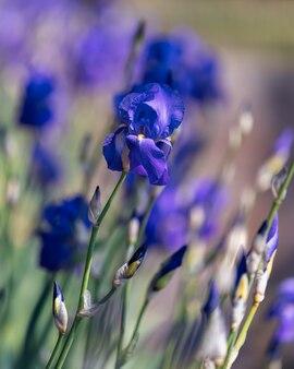 Schöne blaue irisblume im park. (fokus auf blume, bokeh-hintergrund)