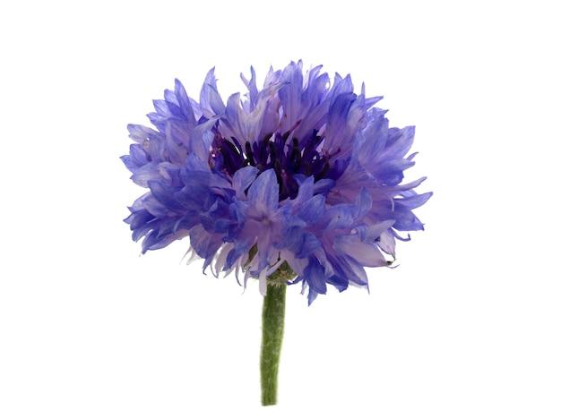 Schöne blaue kornblume lokalisiert auf weißem hintergrund. selektiver fokus.