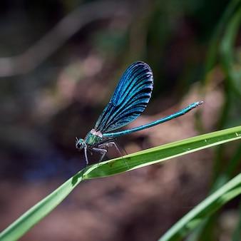 Schöne blaue libelle auf der pflanze