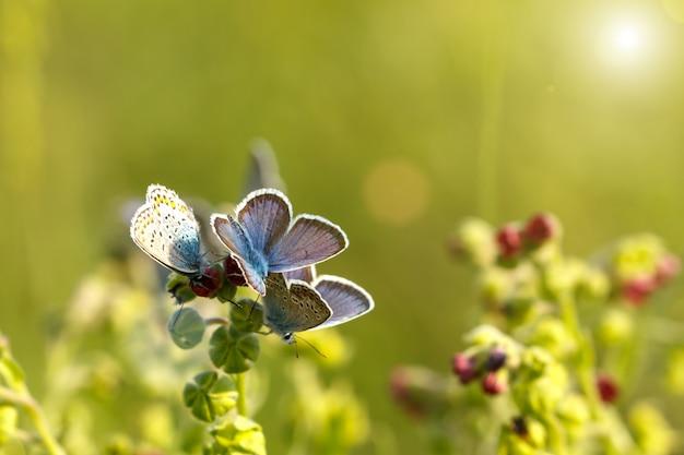 Schöne blaue schmetterlinge, die auf dem gras an einem sonnigen tag sitzen.