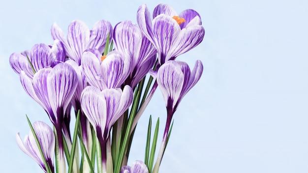Schöne blühende blumenkrokusse lila auf blau gefärbt. erste frühlingsblume für frau oder muttertag. speicherplatz kopieren.
