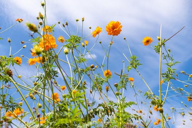 Schöne blühende gelbe kosmosblume mit wolken und blauem himmel.