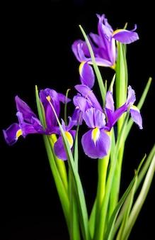 Schöne blühende iris auf einer schwarzen hintergrundnahaufnahme