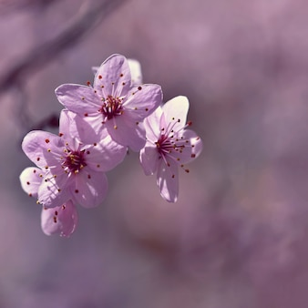 Schöne blühende japanische kirsche sakura. jahreszeit hintergrund. natürlicher unscharfer hintergrund wi im freien