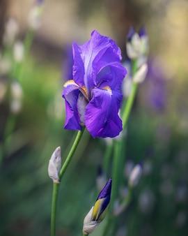 Schöne blühende knospe der lila irisblume