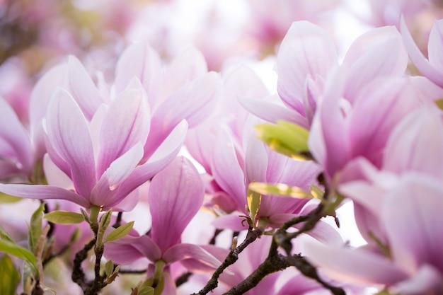 Schöne blühende magnolienblüte auf dem riesigen magnolienbaum