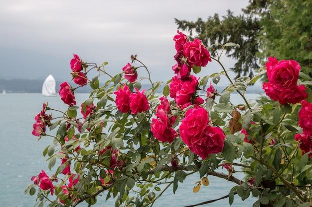 Schöne blühende nahaufnahme rote blumen im garten, sommerhintergrund. fotografie magische blütenblätter auf unscharfem hintergrund
