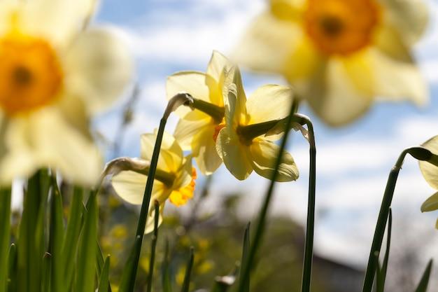 Schöne blühende narzisse im sommer, gelbe blüten der narzissen während der blüte