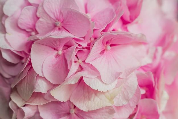 Schöne blühende rosa hortensieblumen