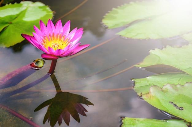 Schöne blühende rosa seerose - lotos in einem garten in einem teich. reflexionen auf der wasseroberfläche.